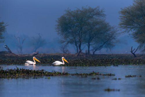 Couple Pelican by Rasmi Ranjan