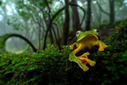 Malabar Gliding Frog by Abhilash Kar